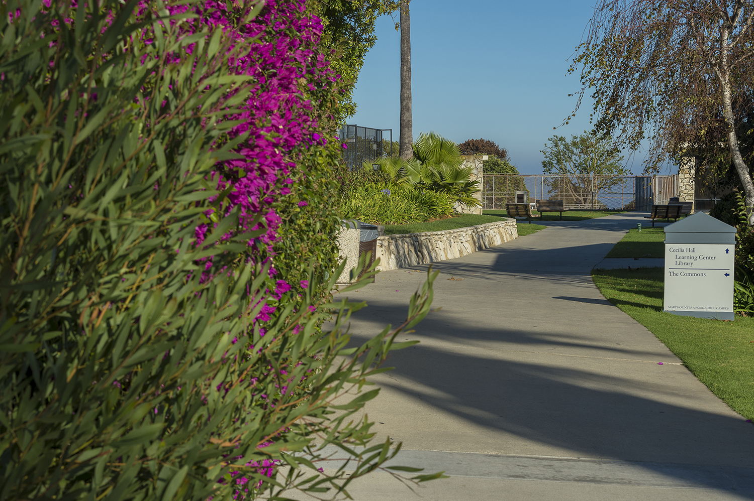 walkway on campus with bougainvellea